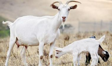 Directaid مشاريع التنمية Al-Sanabel Project - Goat Production-3 1